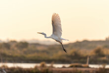 White Heron (Egret) On A Pond In An Early Autumn Morning Near Zikhron Ya'akov, Israel.