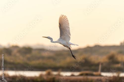 Obraz na plátně White Heron (Egret) on a pond in an early autumn morning near Zikhron Ya'akov, Israel