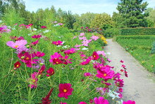 Cosmos Bipinnatus Blooming In Garden. Red Flowers Near Path