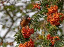 American Robin Eating Berries On A Mountain Ash Tree Branch  (Turdus Migratorius, Sorbus Americana)