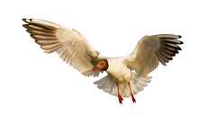 Black-headed Gull, Chroicocephalus Ridibundus, Hovering Midair Cut Out On Blank Background. Aquatic Bird Flying In The Air Isolated On White Backdrop. Huge Feathered Animal With Open Wings With Space