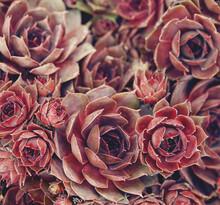 Stone Rose Close Up, Macro Shot