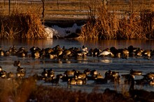 Wild Geese, Canada And A Few Snow Geese, Resting And Wintering On South East City Park Public Fishing Lake, Canyon, Texas.
