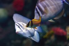 Close Up Of Tropical Sailfin Tang Fish