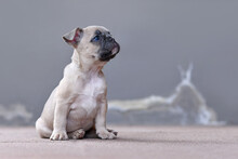 Lilac Fawn Colored French Bulldog Puppy With Floppy Ears Hanging Down