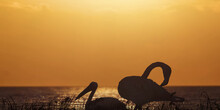 Closeup Of Two Andean Flamingo In Sunset Golden Lake Water.