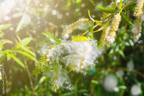 Fotografie, Obraz Willow fluff on branches in the sun