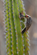 Ladderspecht, Ladder-backed Woodpecker, Picoides Scalaris