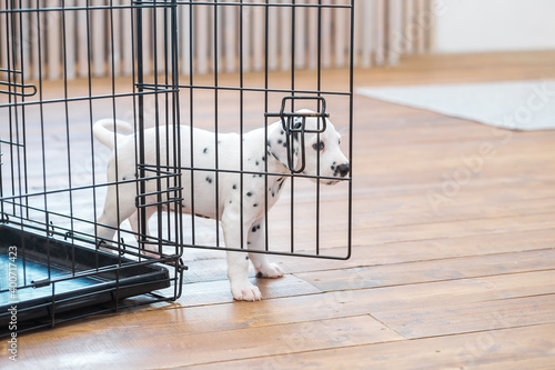 Canvas Print Little Dalmatian puppy hid behind his cage