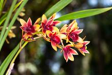 Symbidium Orchid Close-up .
