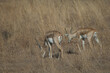 canvas print picture - Males blackbuck Antilope cervicapra in Devalia. Gir Sanctuary. Gujarat. India.