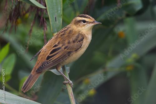 Fototapeta Rietzanger, Sedge Warbler, Acrocephalus schoenobaenus