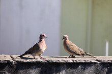 Couple Of Laughing Dove Birds In Love, Bird Mating On The Wall, Selective Focus With Blur.