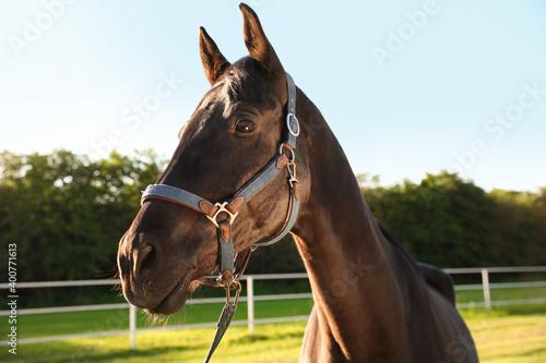 Fotografia, Obraz Horse with bridle outdoors on sunny day. Beautiful pet