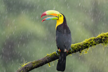 A Keel-billed Toucan (Ramphastos Sulfuratus) Perches On A Tree Branch In The Rain In Laguna Del Lagarto, Costa Rica