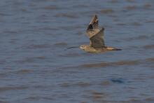Siberische Wulp; Far Eastern Curlew; Numenius Madagascariensis
