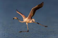 Flamingo; Greater Flamingo; Phoenicopterus Roseus