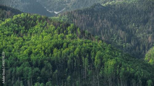 Fototapeta Zalesiona zielona góra na tle wzgórz z uschniętymi drzewami o poranku obraz