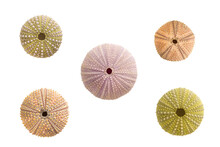 Five Sea Urchins Shells On White Background