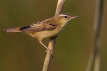 Rietzanger, Sedge Warbler, Acrocephalus Schoenobaenus