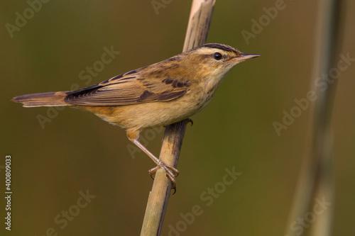 Rietzanger, Sedge Warbler, Acrocephalus schoenobaenus Tapéta, Fotótapéta