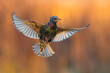 Leinwandbild Motiv Spreeuw; Common Starling; Sturnus vulgaris