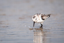 Sanderling Bird Hunting For Food Along The Shores Of The St. Lawrence River