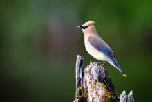 Cedar Waxwing Perched On A Dead Tree Over A Marsh