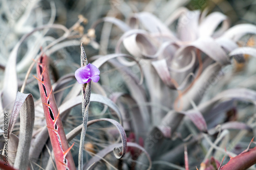 Fotografie, Obraz Lilac Sabila or Aloe Flower rare spaces between gray and red defocused leaves ba