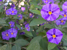 Purple Flowers Of Solanum Rantonnetii. The Blue Potato Bush Or Paraguay Nightshade. Purple Flowers With Yellow Centres And Green Leaves