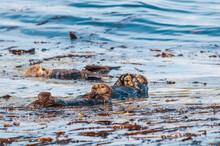 Sea Otter (Enhydra Lutris) At Chowiet Island, Semidi Islands, Alaska, USA