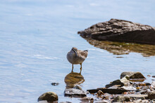 Siberian Ash Sandpiper (Tringa Brevipes) Searches For Prey On The Shallow Seashore.