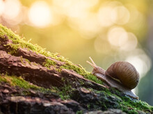 A Slow Grape Snail Crawls Up The Bark Of A Tree Overgrown With Moss. Beautiful Bokeh In The Background.