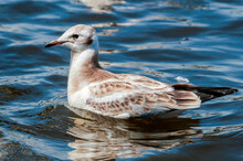 Immature Black-headed Gull (Larus Ridibundus) In Park, Hamburg, Germany