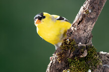 American Goldfinch Perched In The Tree Branches