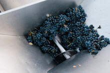 Fresh Grapes In Crushing Machinery At Winery