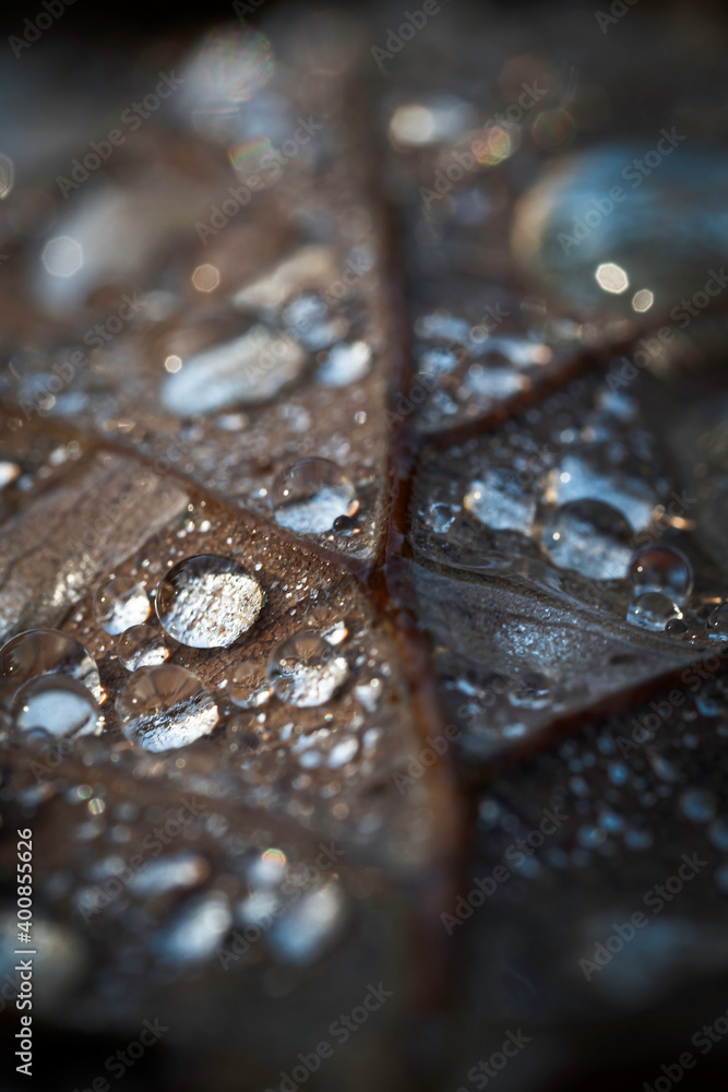 Fototapeta Krople deszczu na liściu dębu