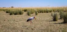 Tántalo Africano. Ave En Parque Nacional Chobe.