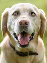 Portrait Of Labrador Retriever Panting