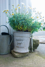 Plant Potted In Old Milk Churn At Dairy