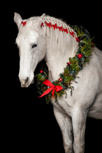 White Horse With Christmas Wreath And Red Bows Isolated On Black Background