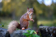 Close-up Portrait Of Squirrel Standing By Nut On Rock