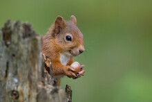 Close-up Of Squirrel Holding Nut On Branch