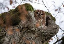 Tawny Owl (Strix Aluco) In Tree Stump
