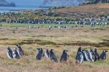 UK, Falkland Islands, Magellanic Penguin (Spheniscus Magellanicus) Colony On Carcass Island