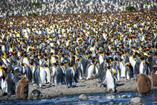UK, South Georgia And South Sandwich Islands, King Penguin (Aptenodytes Patagonicus) Colony On Salisbury Plain