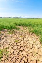Dry Cracked Soil In Vast Summer Oat Field