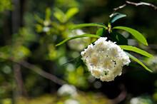 Bridalwreath Spirea Flowers (Spiraea Prunifolia) On Garden