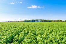 Potatoes (Solanum Tuberosum)growing In Vast Summer Field