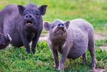 Vietnamese Pot-bellied Pig On Grass